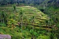 Рисовые террасы Убуда